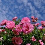 rose640